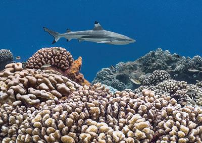 Rencontre avec les requins tigres, marteaux & gris