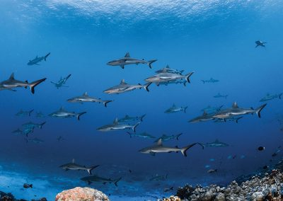 Encuentro con tiburones tigre, martillo, y gris