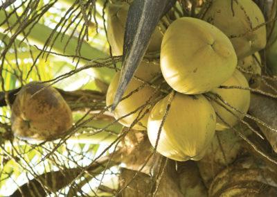 Cocotier Huahine © Tahiti Tourisme