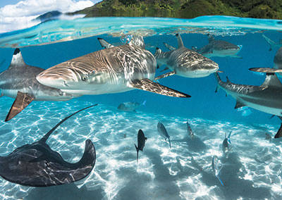Bora Bora Shark and Ray Close Up Encounter