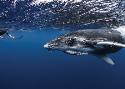 L'observation des baleines à Tahiti et ses îles