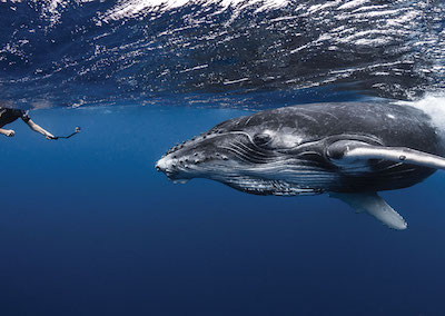 Whale Watching in the Island of Tahiti