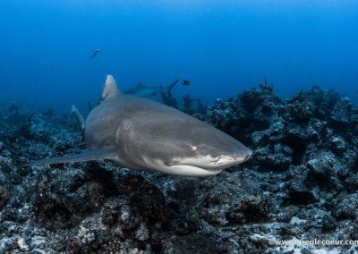 Inmersiones excepcionales y encuentro con tiburones tigre