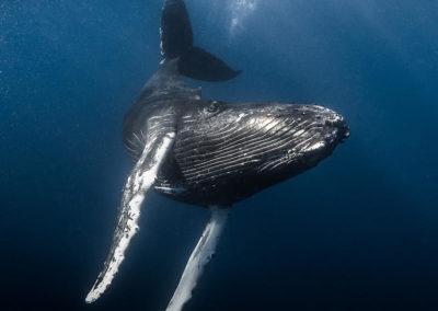 Voyage d'exception à la rencontre des baleines à bosses – Saison 2021