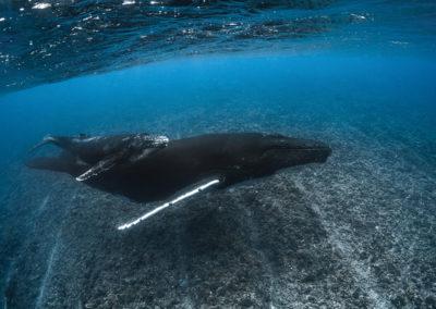 séjour-plongées-baleine-polynesie-e-tahiti-travel