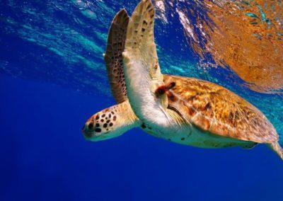 tahiti-lagoon-paradise-turtle